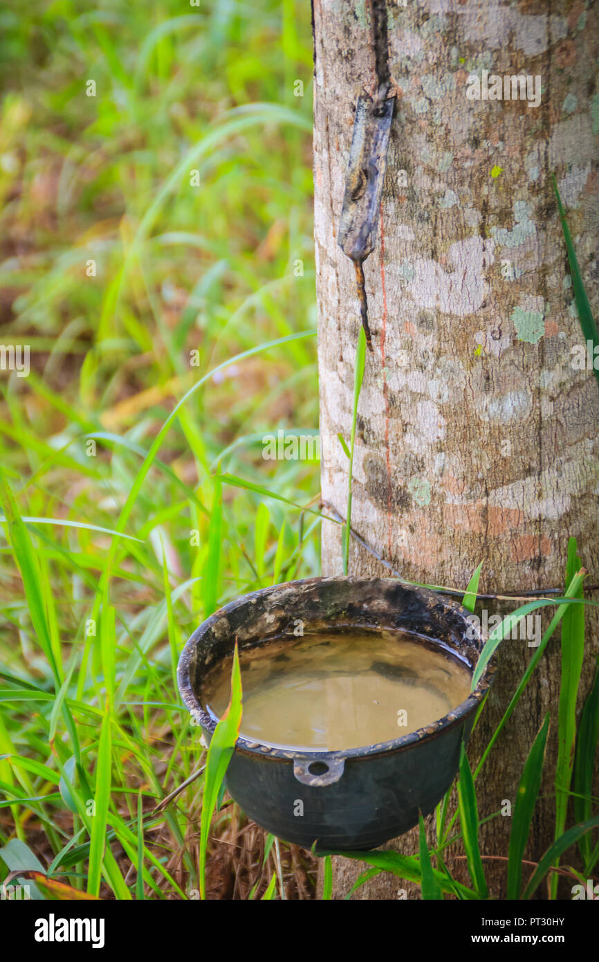 The problem of para rubber tapping during the rainy season. Tapping rubber in the rainy season is a very important issue for farmers, due to the high  - Stock Image