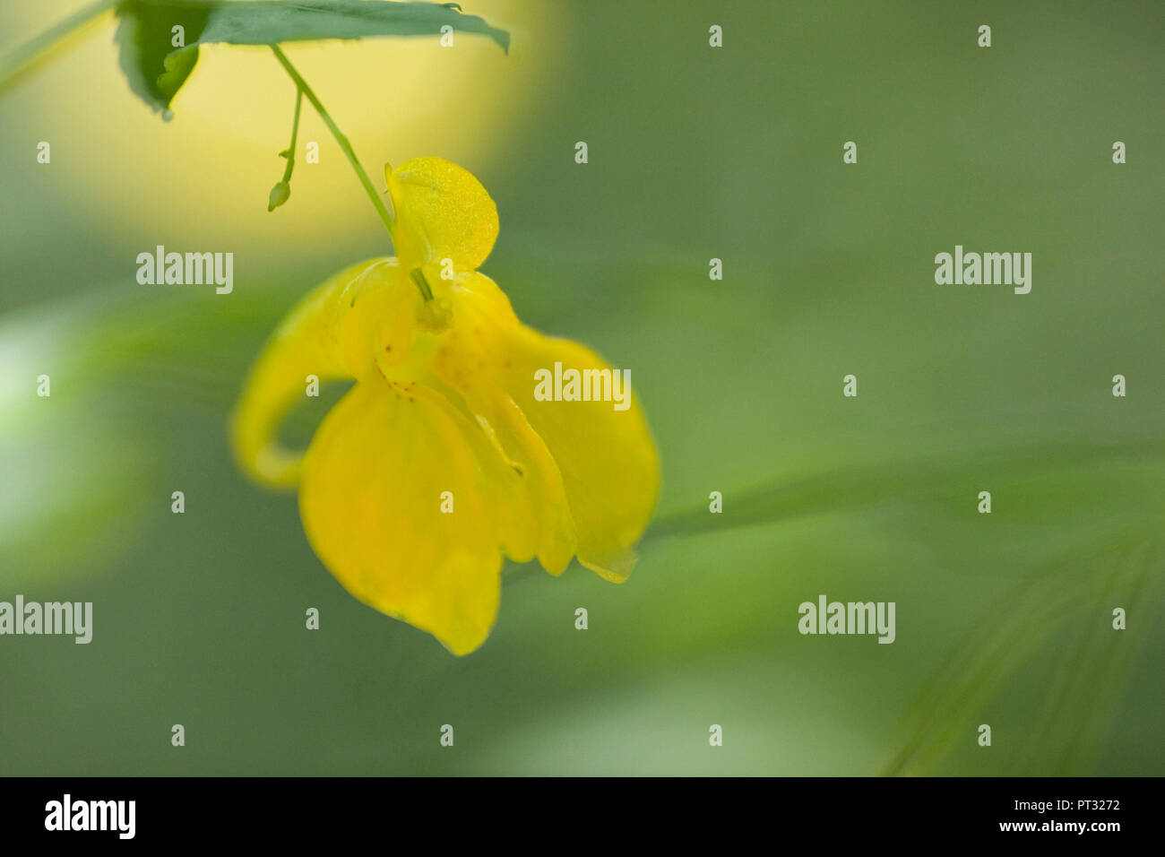 Flowering yellow balsam, Impatiens noli-tangere, close-up Stock Photo