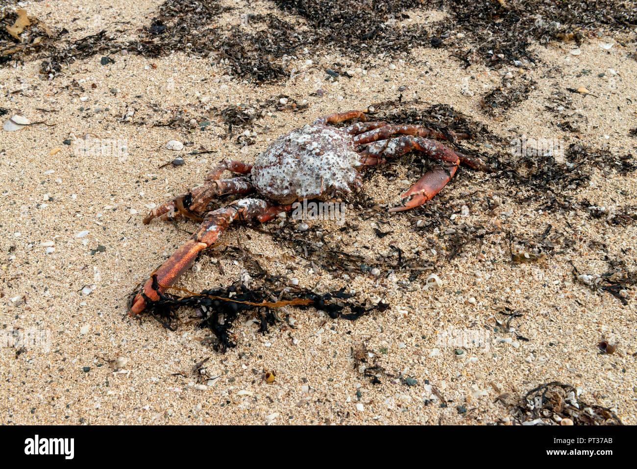 Dead Crab on a Beach, Ireland, Atlantic Ocean. - Stock Image