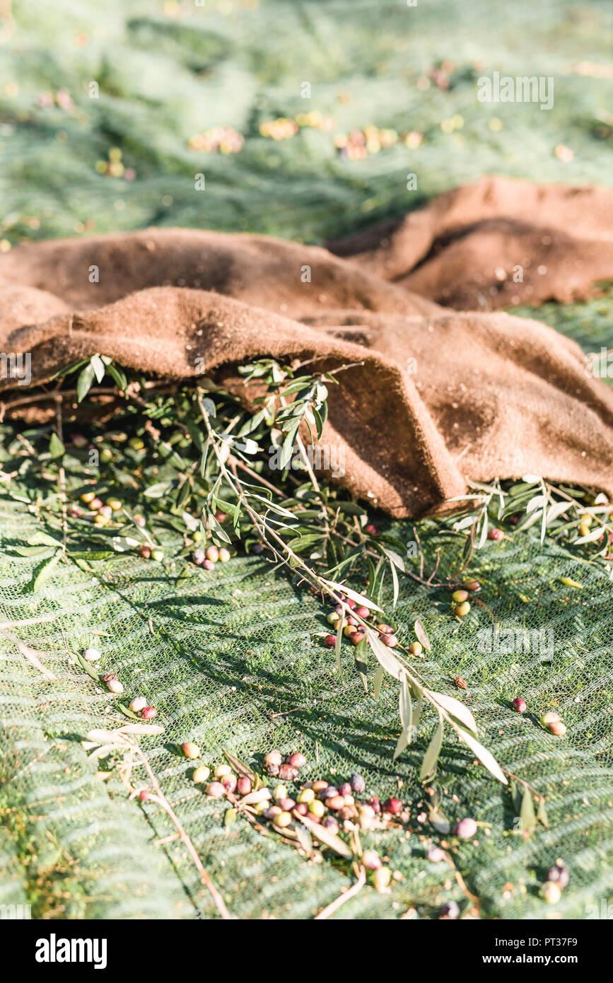Jute sacks at the olive harvest in Greece - Stock Image