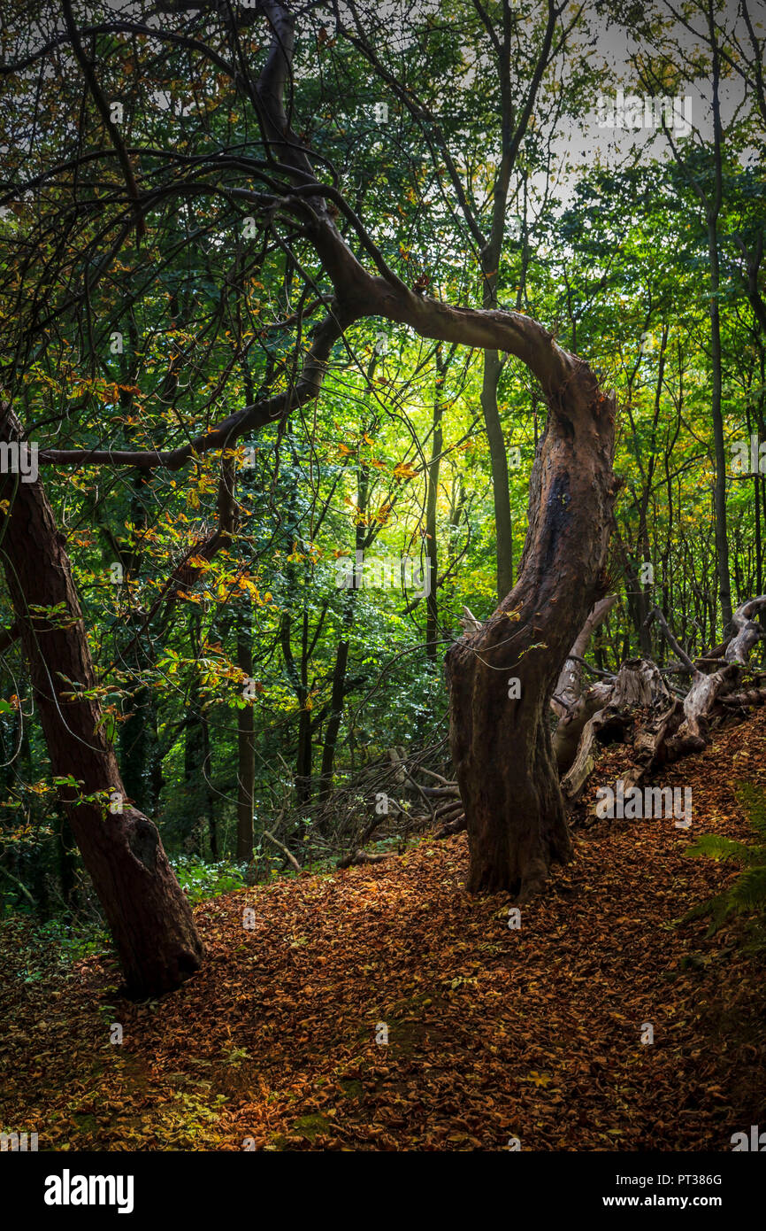 A tree sculpture, masterpiece of nature - Stock Image