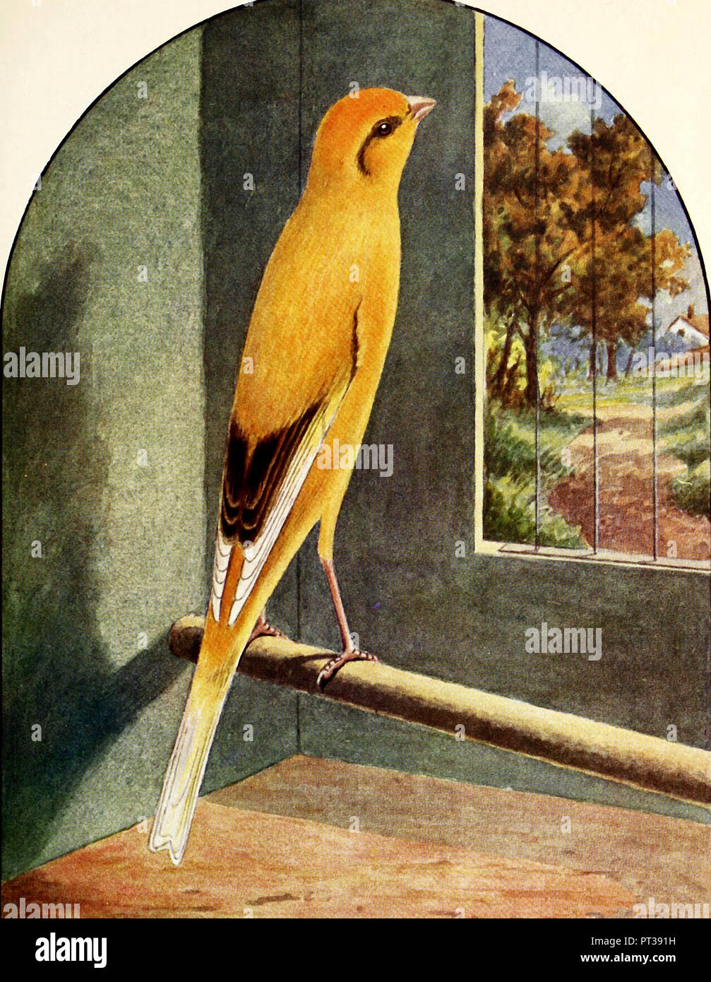 Buff Green Marked Yorkshire Canary - Stock Image