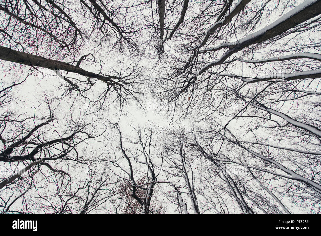 Winter sky in December with leafless beeches and snow - Stock Image