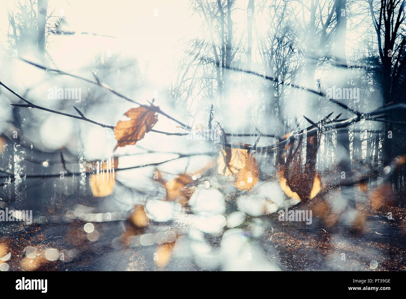 Teutoburg Forest in winter, twig with dried leaves - Stock Image