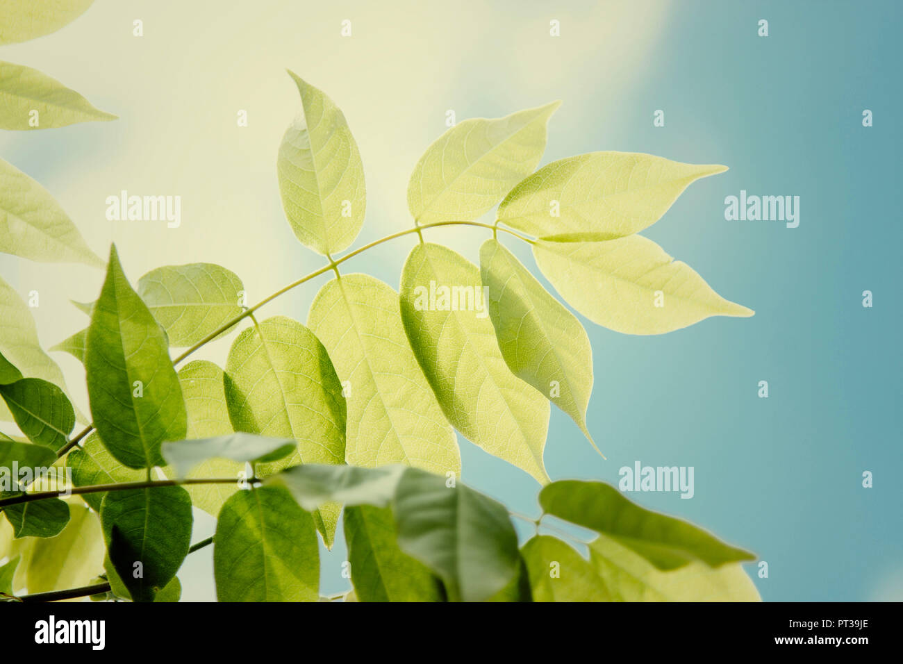 Wisteria And Leaves Stock Photos Wisteria And Leaves Stock