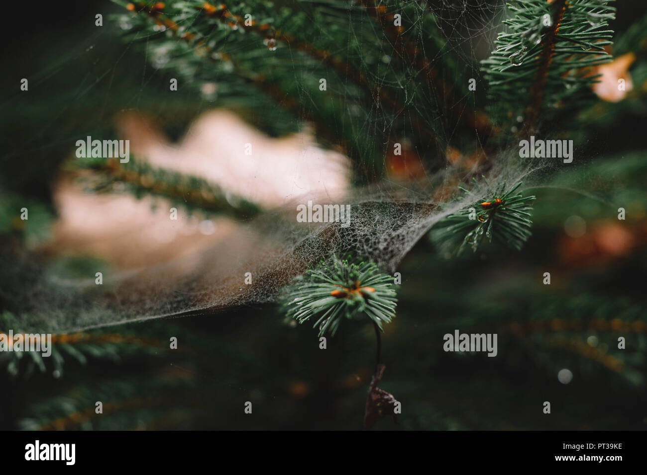 Teutoburg Forest in autumn, spider web at conifer - Stock Image