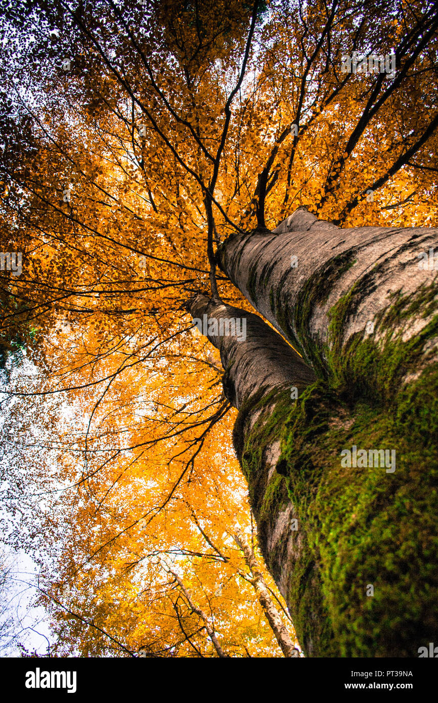 Beech tree, golden yellow autumn leaves, worm's eye view - Stock Image
