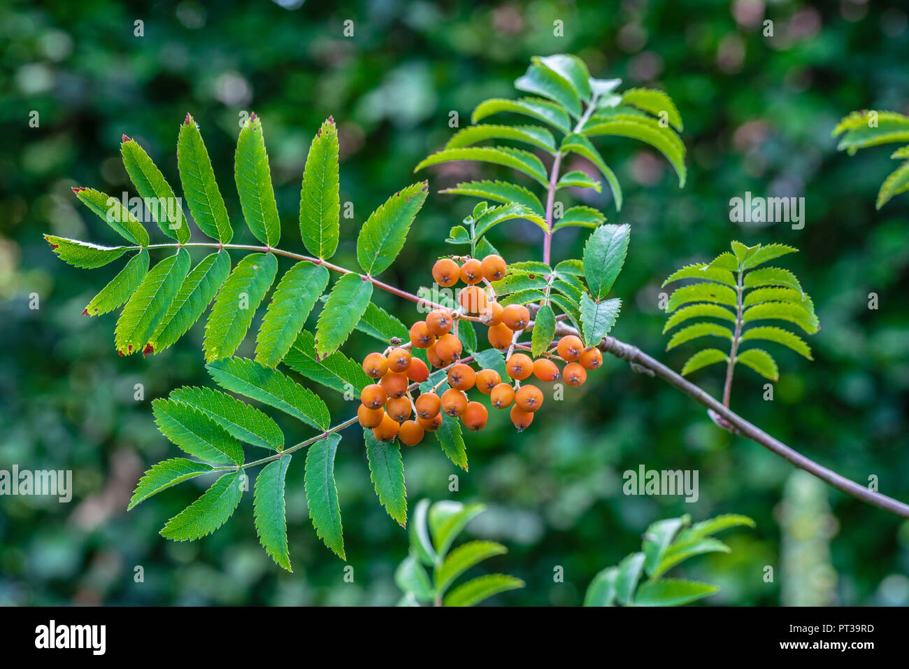 Rowan Berry Illustration High Resolution Stock Photography And Images Alamy
