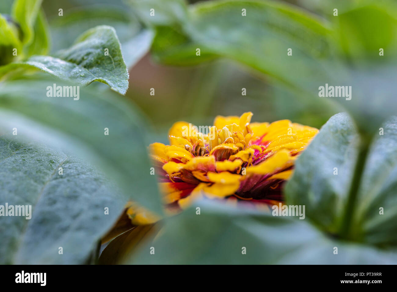 Common zinnia 'Macarena' - Stock Image