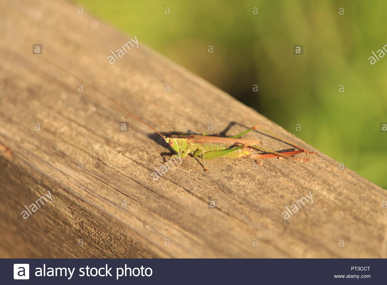 Insect Insects Grasshopper Grasshoppers Cricket Crickets Nature