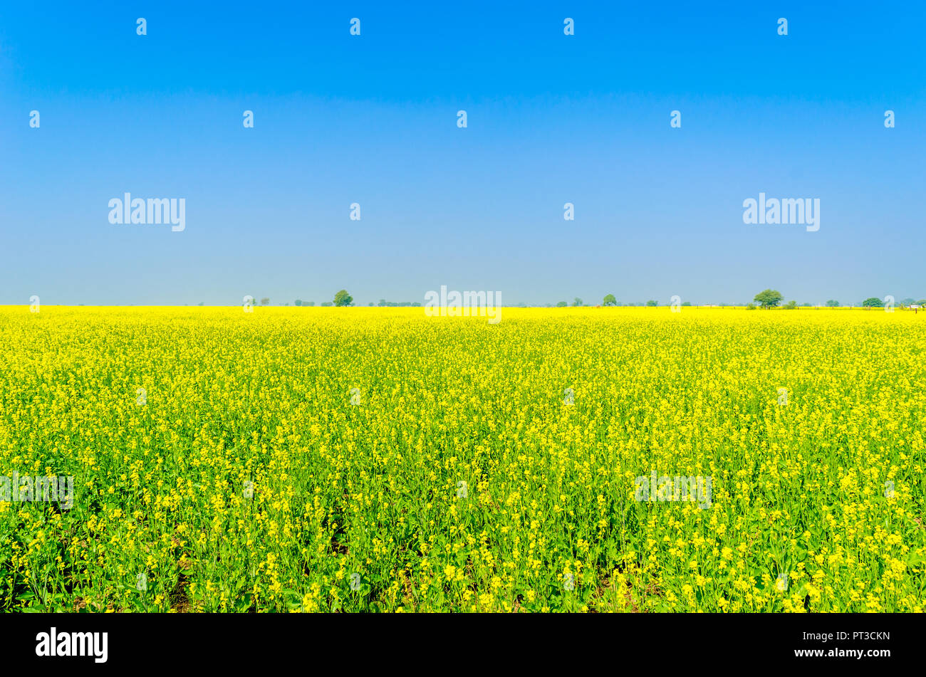 Agriculture Farm With Yellow Mustard Flowers Blooming Stock Photo