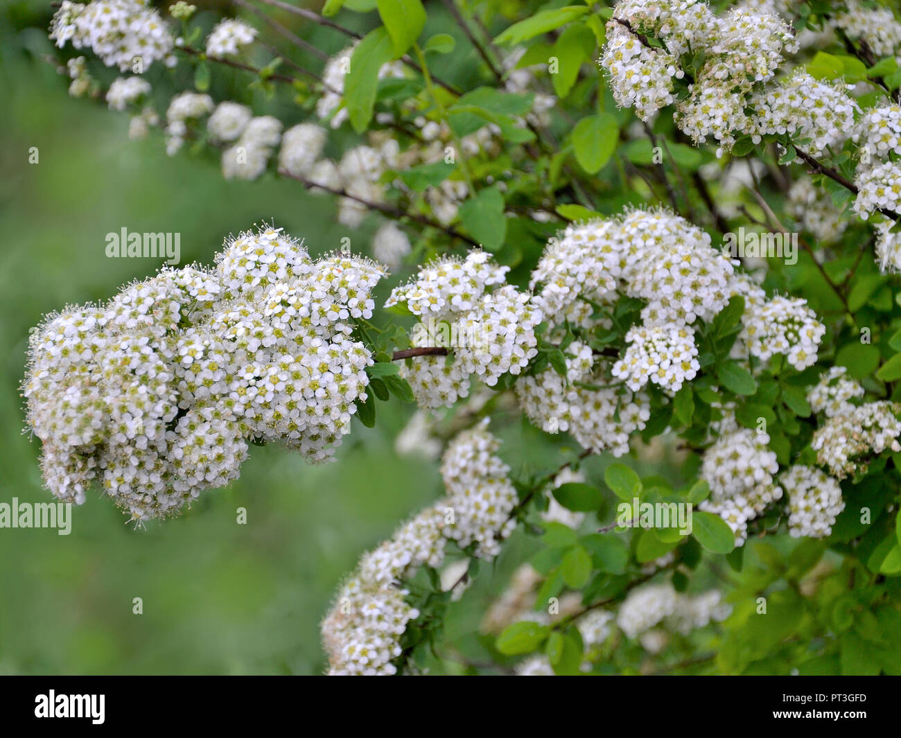 Spirea Flowering Branch With Delicate Small White Flowers