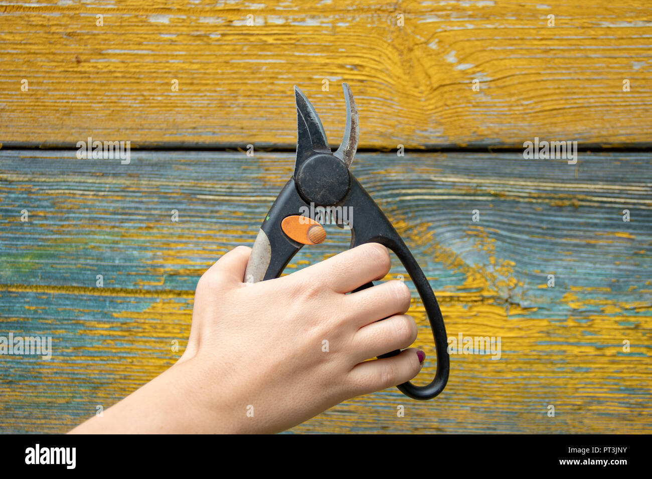 Garden tool pruner in hand on painted wooden wall background - Stock Image