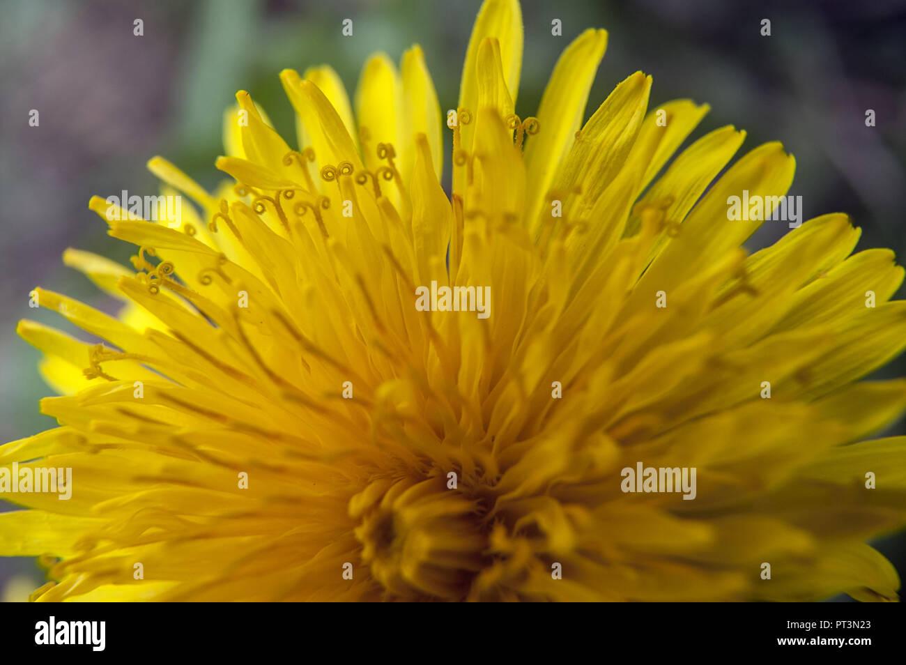 Taraxacum officinale, the common dandelion. Macro. Mniszek pospolity. Stock Photo
