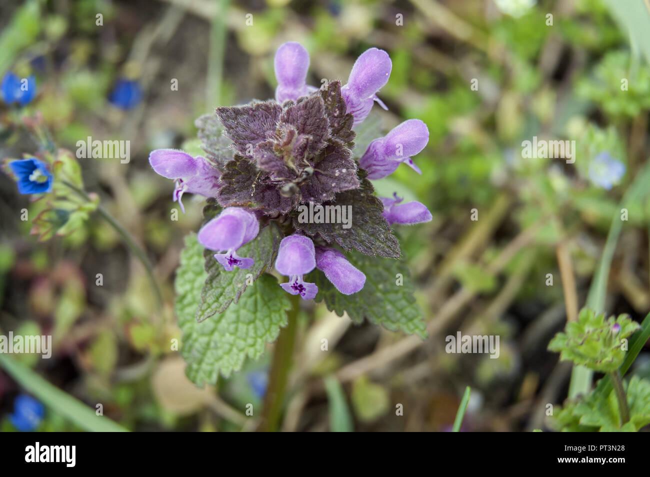 Lamium purpureum, known as red dead-nettle, purple dead-nettle, red henbit, purple archangel, or velikdenche. Jasnota purpurowa. Stock Photo