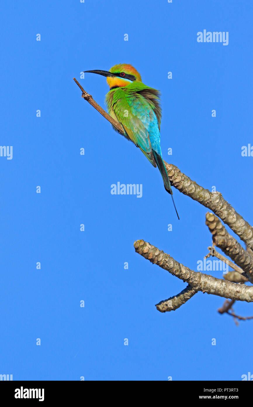 Rainbow Bee-eater in Cairns far North Queensland Australia - Stock Image