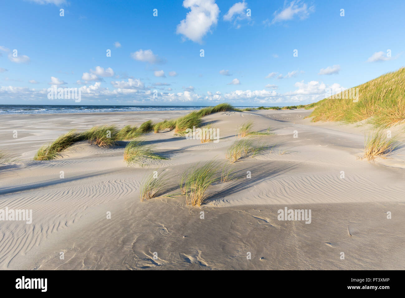 Sand an marram waving in afternoon sun. Dunes and beach of Terschelling, Netherlands - Stock Image
