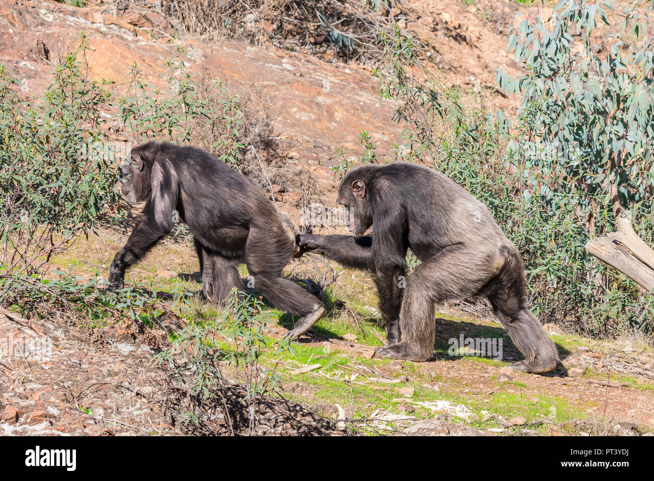 Chimpanzee male and female in mating season in natural