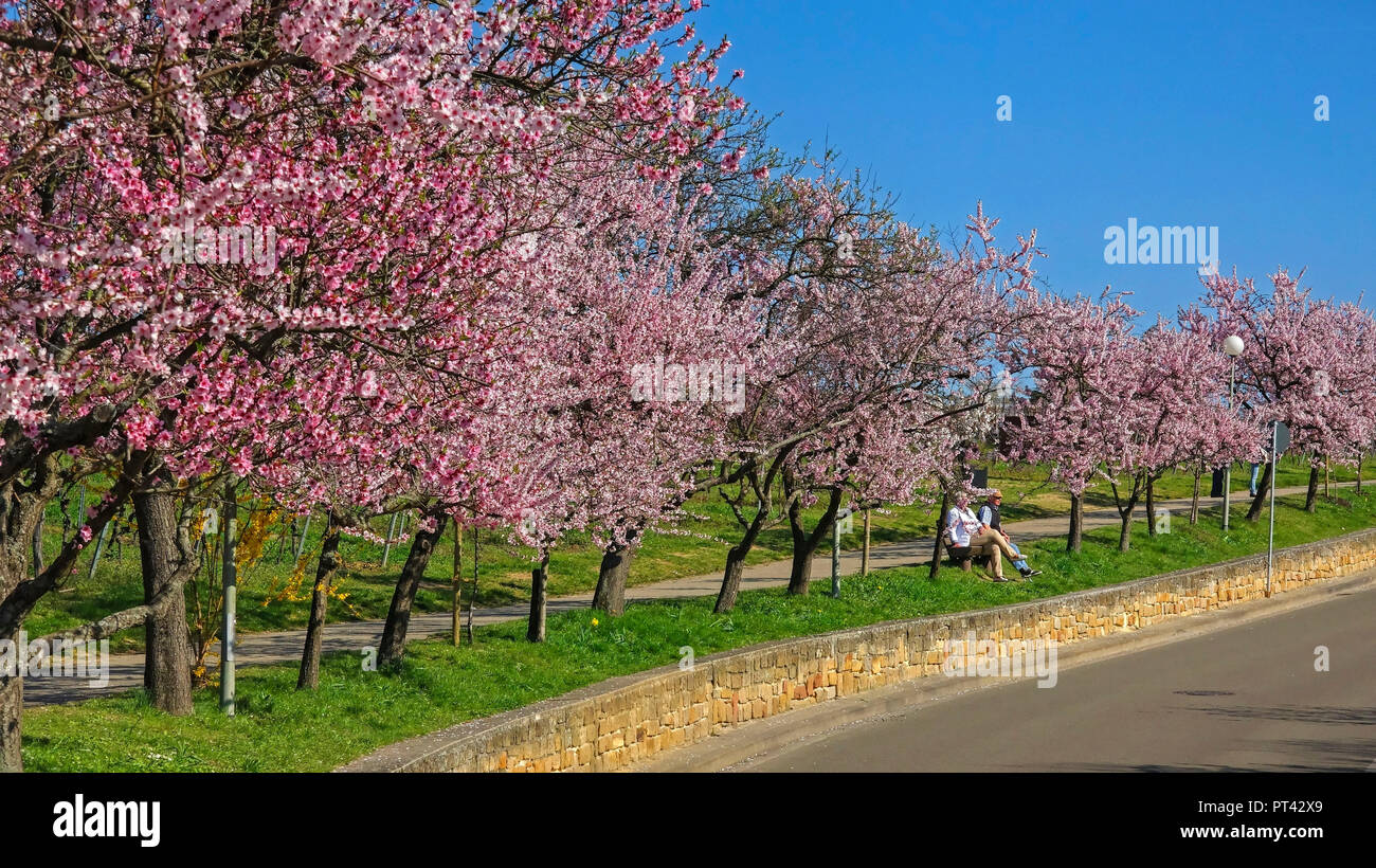 Almond blossom near Neustadt-Gimmeldingen, Pfalz, Palatinate Wine Route, Rhineland-Palatinate, Germany Stock Photo