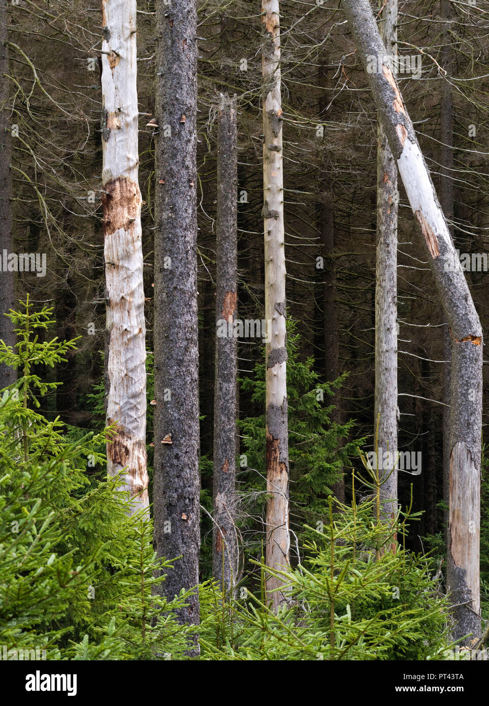 Europe, Germany, Saxony-Anhalt, Harz National Park, spruces infested with bark beetles on the Brockenbett - Stock Image