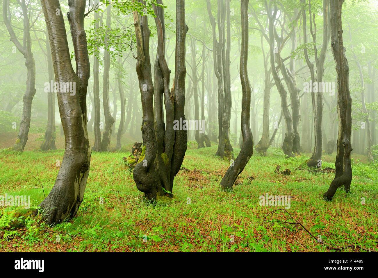 Mysterious forest, fog and rain, bizarrely overgrown beech, Erzgebirge, Czech Republic Stock Photo