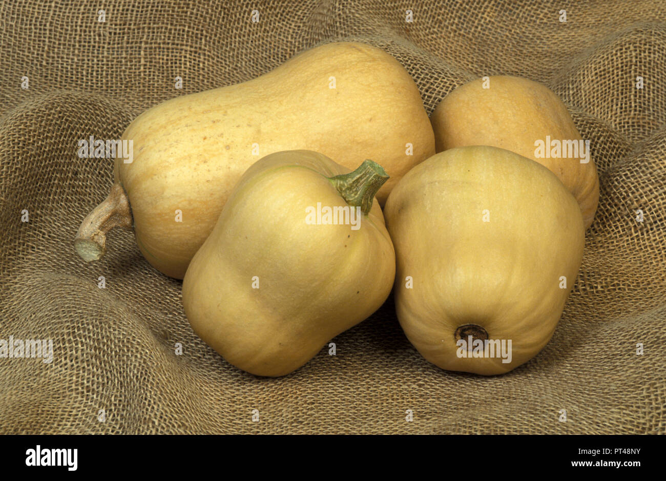 HARVESTED BUTTERNUT PUMPKINS (CUCURBITA MOSCHATA) - Stock Image