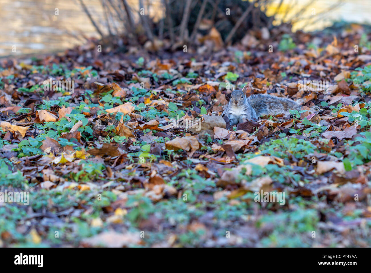 Grey squirrel foraging in autumn leaves in St Jame's Park, London - Stock Image