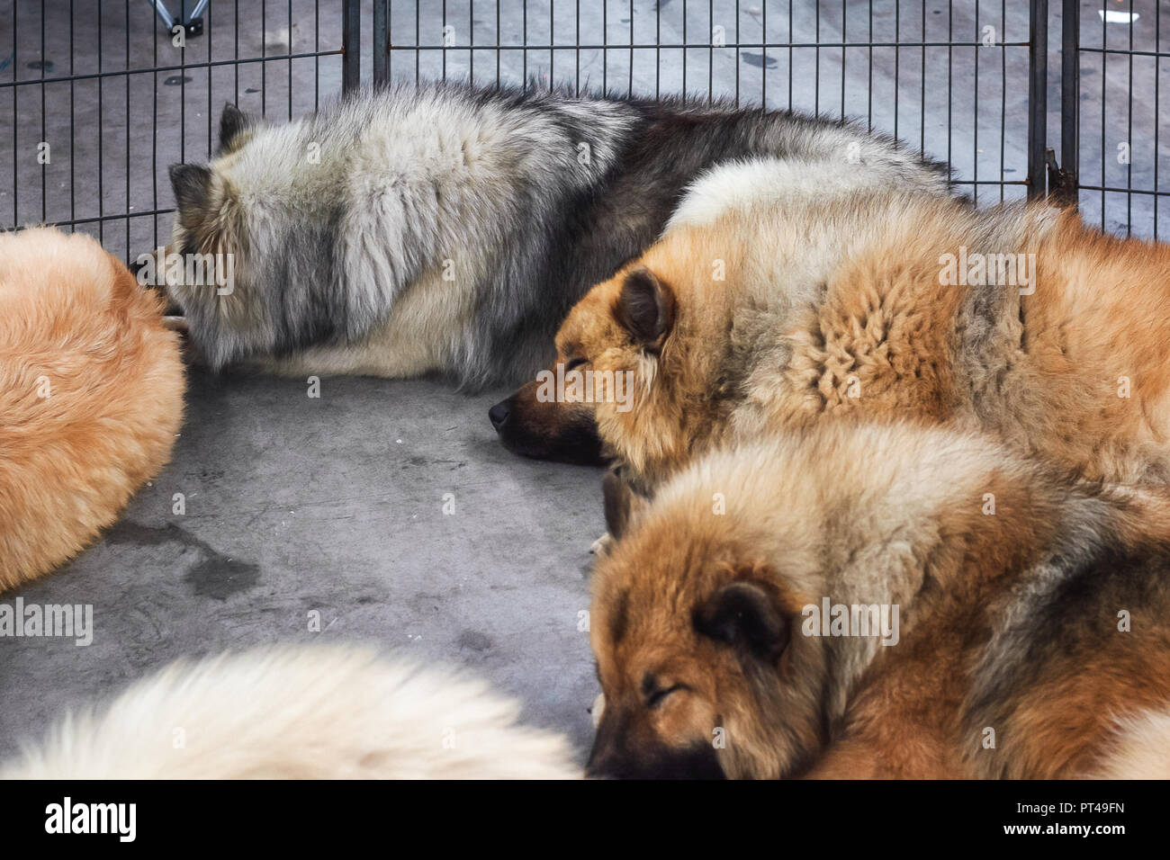 Amsterdam, The Netherlands, August 10, 2018: Big sleeping dogs in their bench during the world dog show in Amsterdam in The Netherlands. Stock Photo