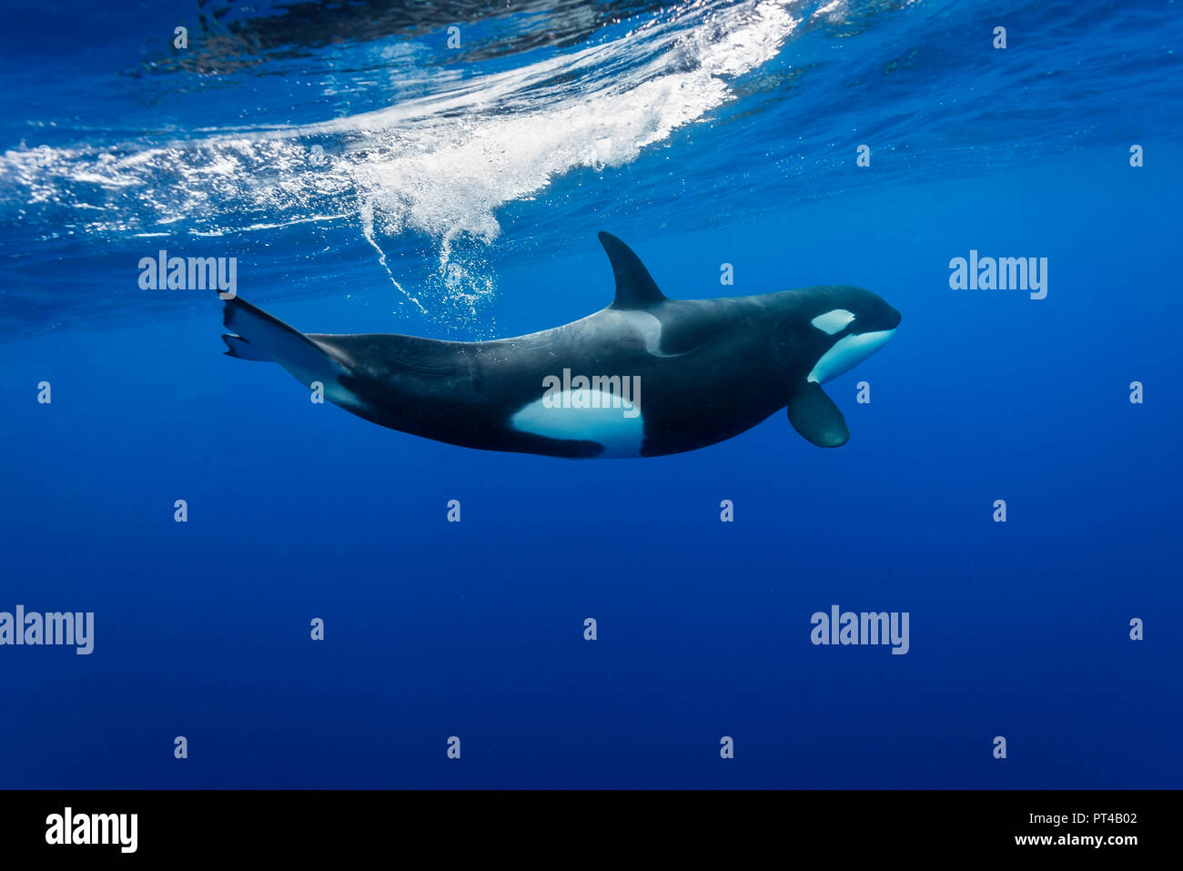 Killer whale, Pacific Ocean, New Zealand. - Stock Image