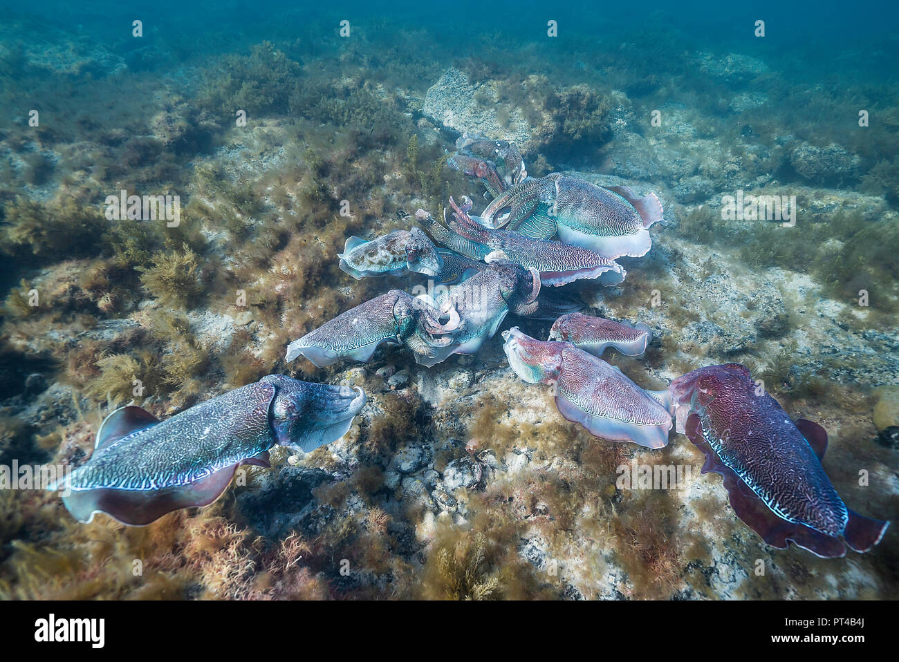 Male Australian giant cuttlefish protecting his female as she tries to lay her eggs, during the annual mating and migration season. - Stock Image