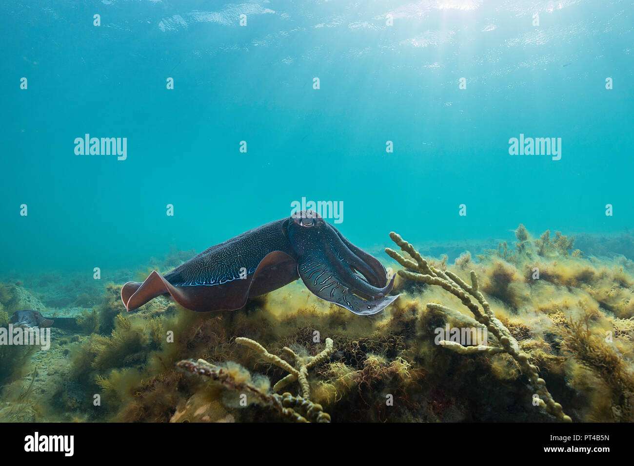 Australian giant cuttlefish during the annual mating and migration season. - Stock Image