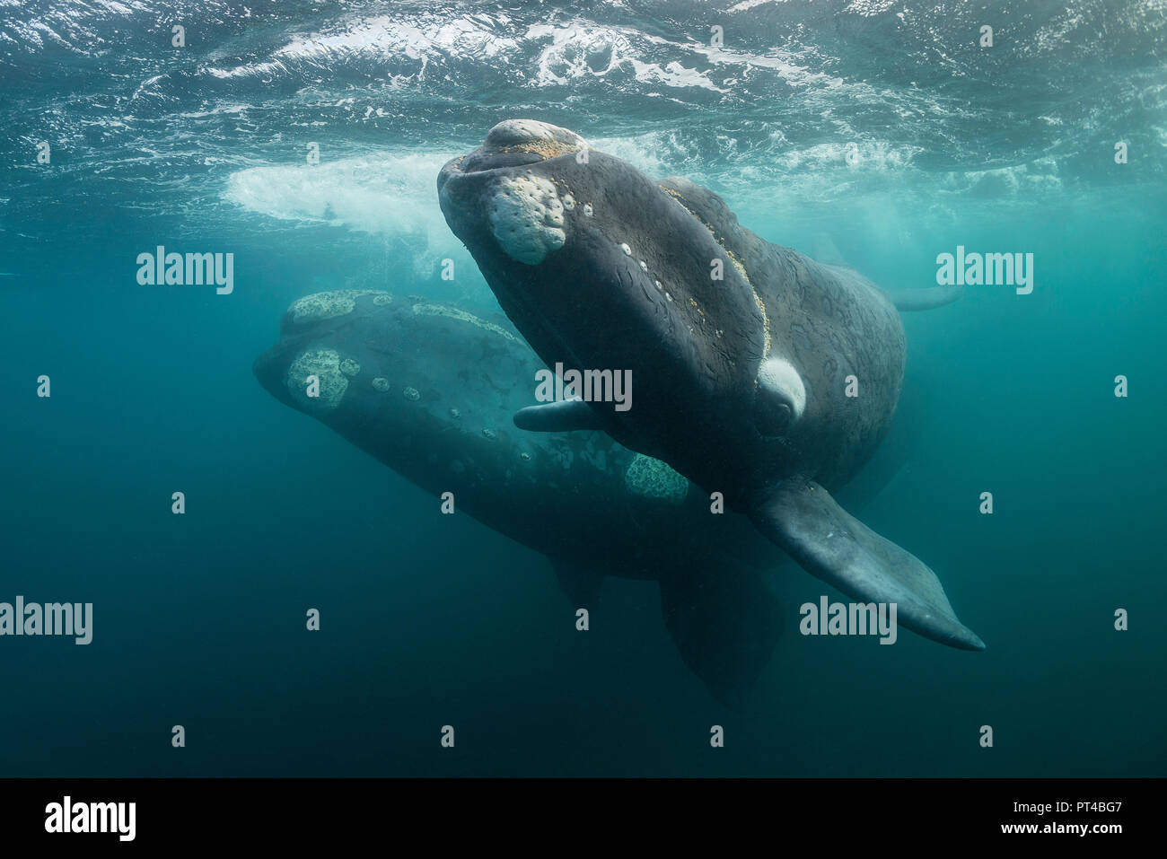Southern right whale and her calf, Valdes Peninsula. - Stock Image
