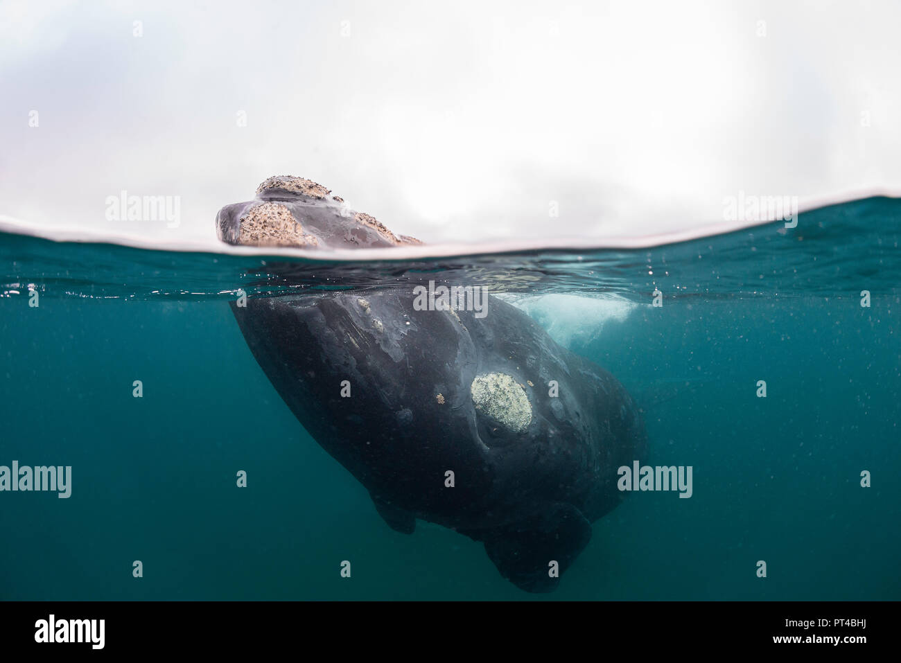 Southern right whale in shallow water, Valdes Peninsula. - Stock Image