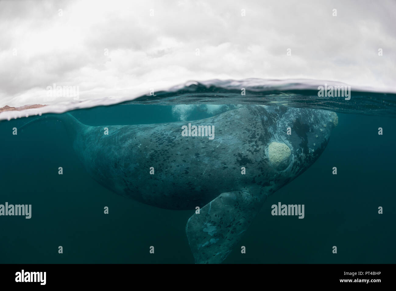 Grey southern right whale juvenile. - Stock Image