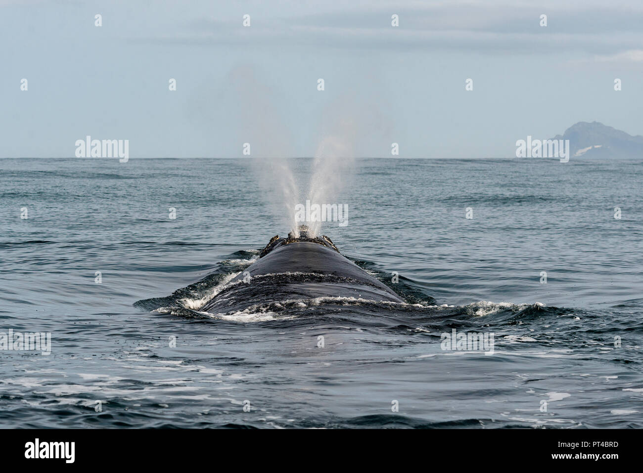 Southern right whale exhaling at the surface. - Stock Image