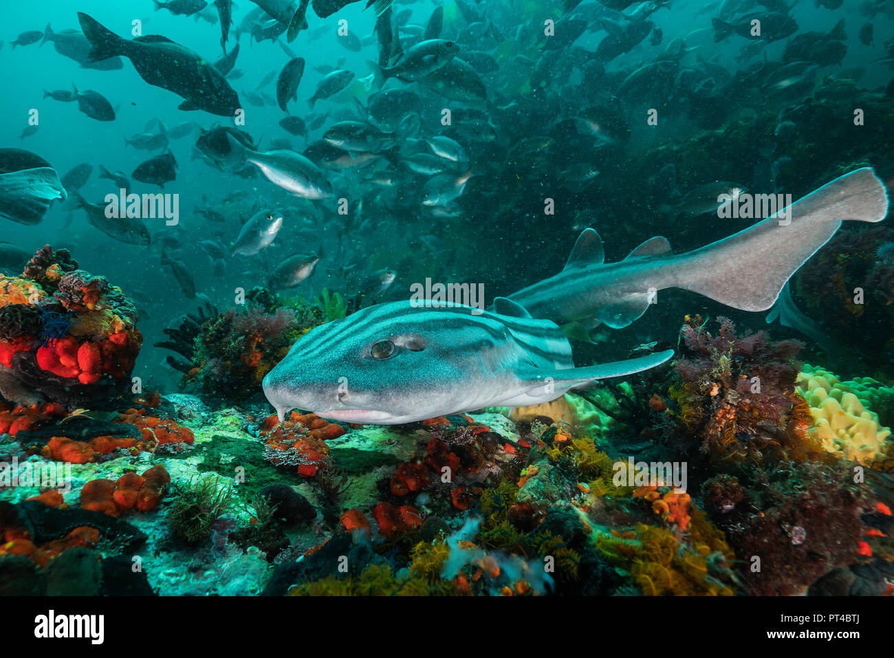 Striped pyjama cat shark swimming over the coral reef, False Bay, Cape Town. - Stock Image