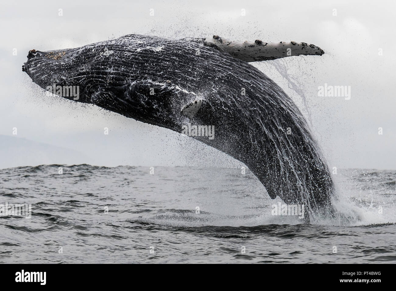 Breaching humpback whale, Langebaan, South Africa. - Stock Image