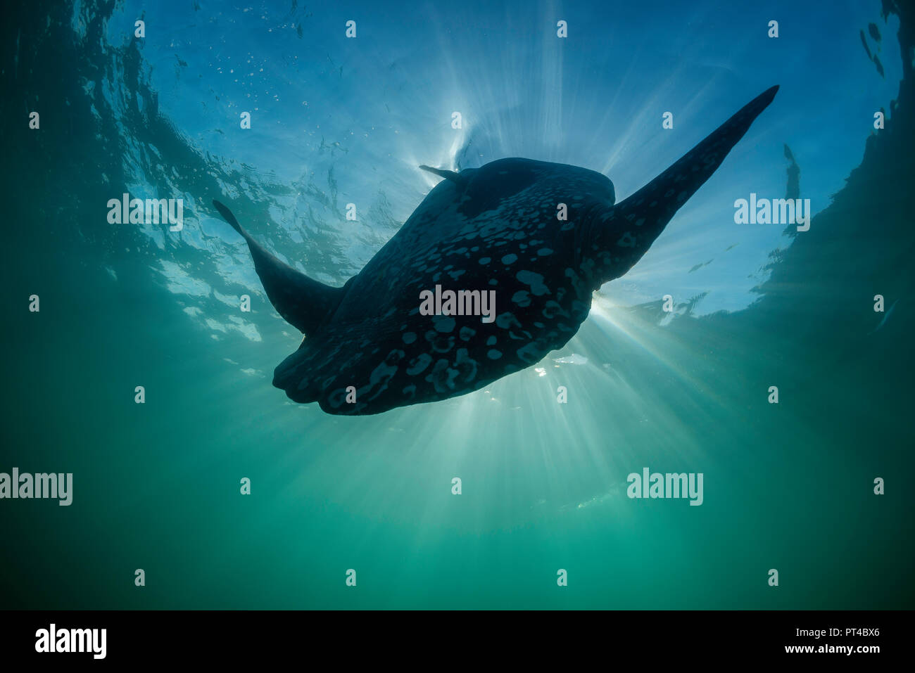 Close up view of an oceanic sun fish, West coast of South Africa. - Stock Image