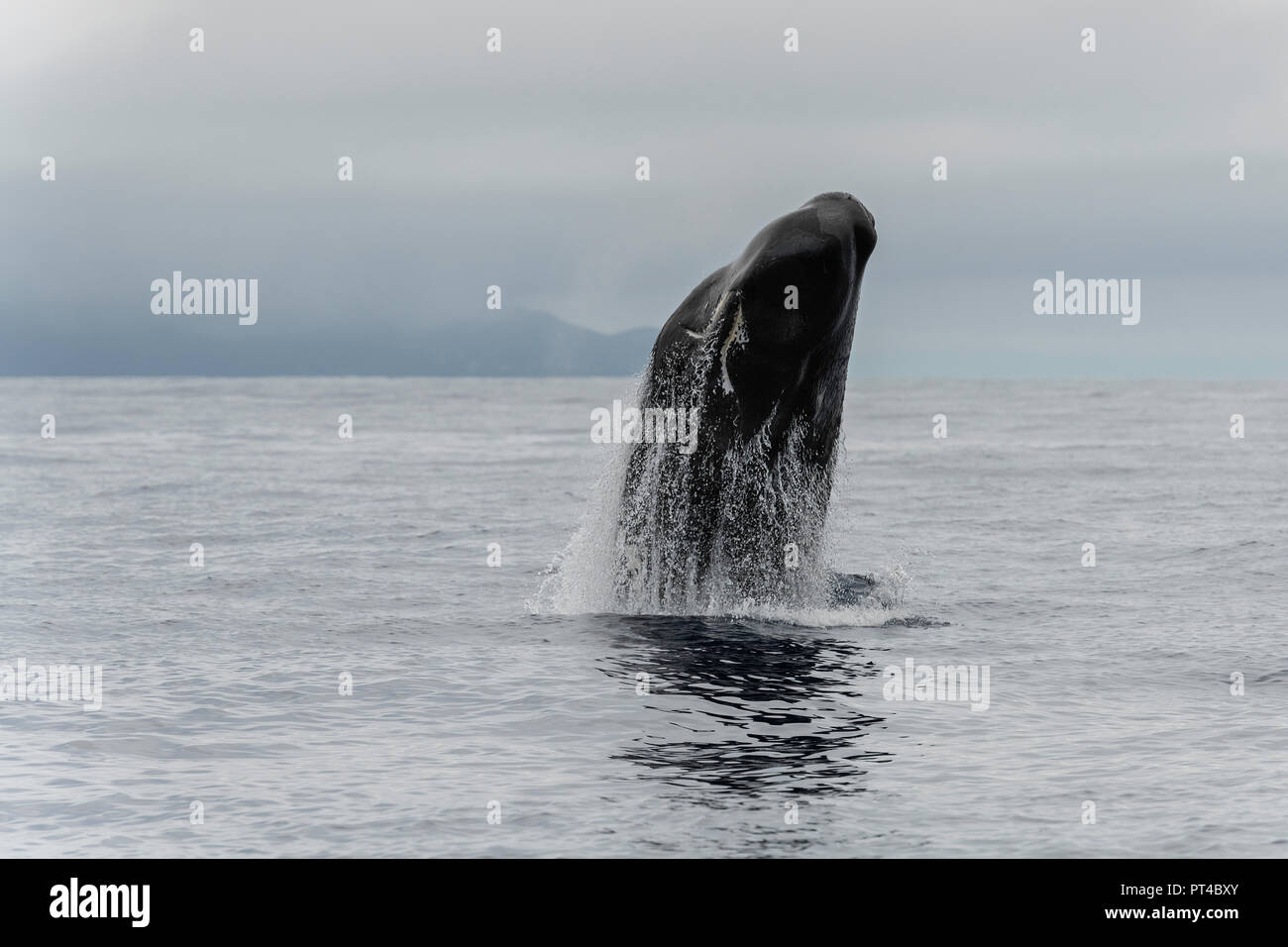 Breaching sperm whale, Pico Island, Azores. - Stock Image