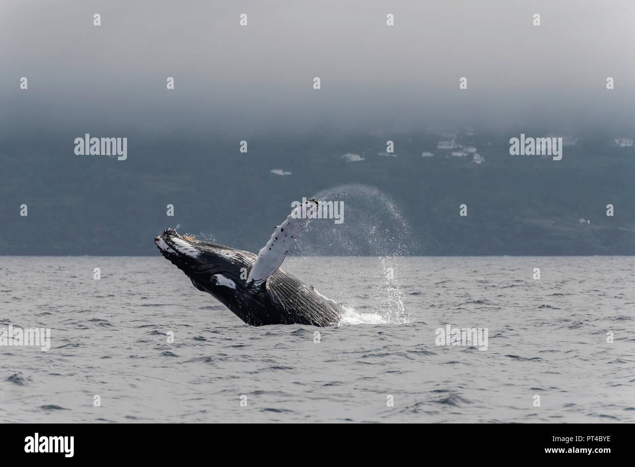 Breaching Humpback whale, Pico Island, Azores. - Stock Image