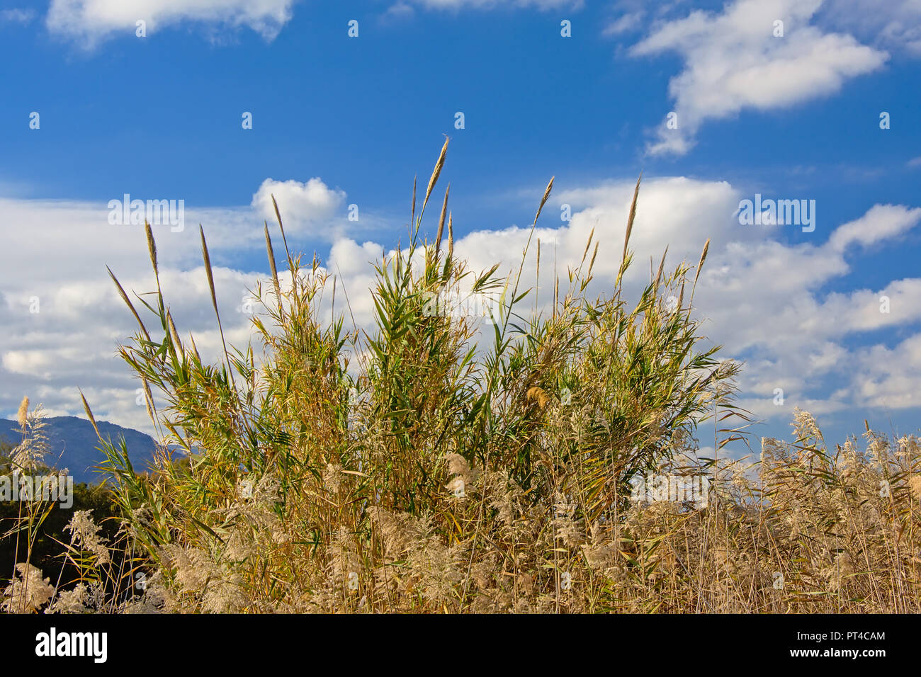 Sunny giant reeds under a blue sky with soft clouds in Guadalhorce river estuary nature reserve in Malaga - Arundo donax - Stock Image
