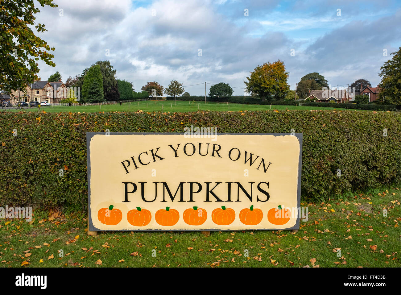 Pick your own pumpkins banner at Wheelock farm Cheshire UK - Stock Image