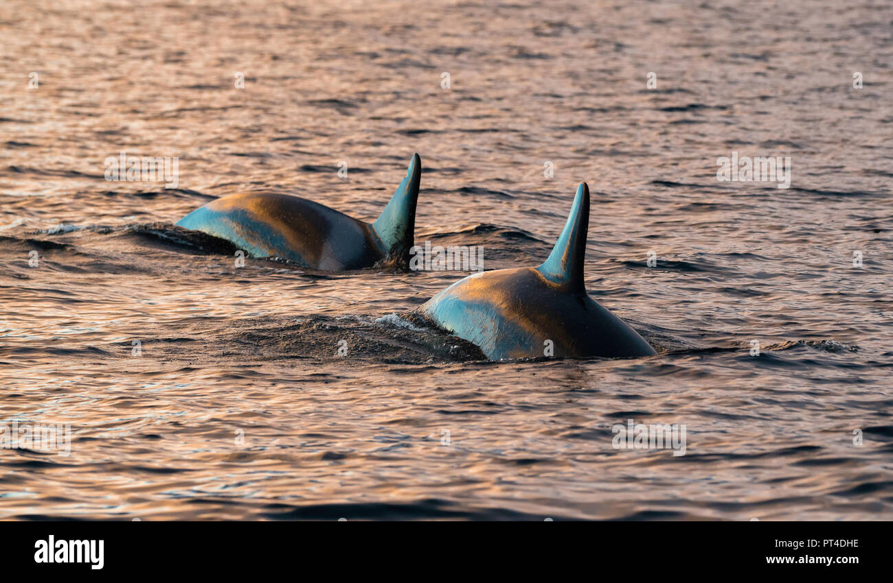 Killer whales feeding on herring, northern Norway. - Stock Image