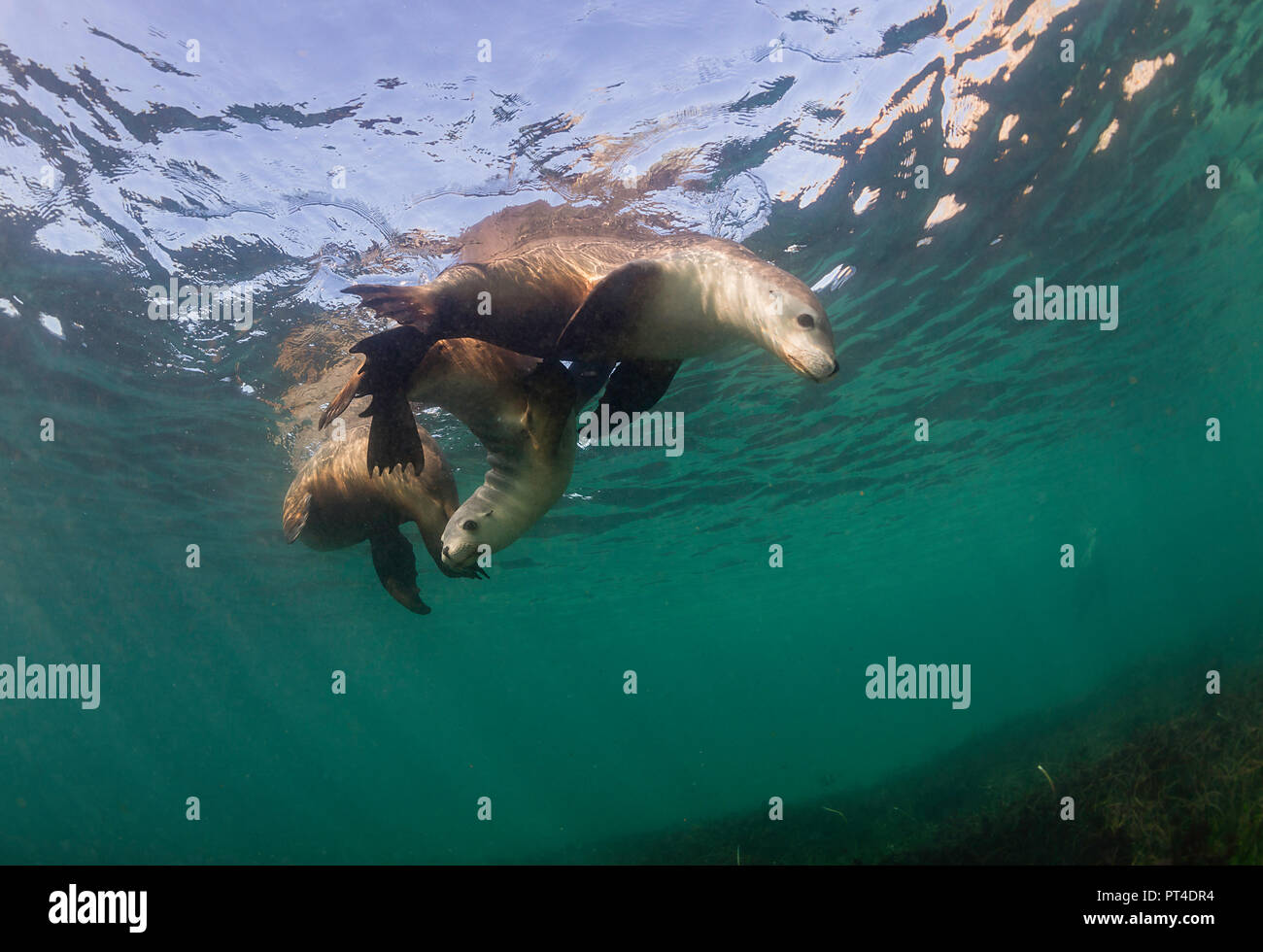 Australian sea lions, Neptune Islands, South Australia. - Stock Image