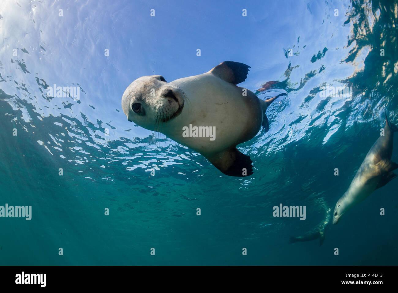 Australian sea lions, Neptune Islands, South Australia. - Stock Image