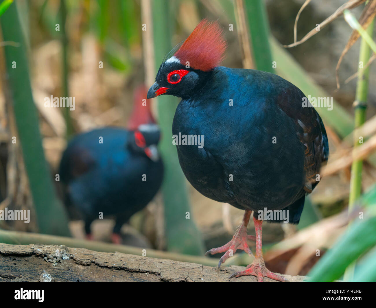 Crested wood partridge Rollulus rouloul. roul-roul, red-crowned wood partridge - Stock Image