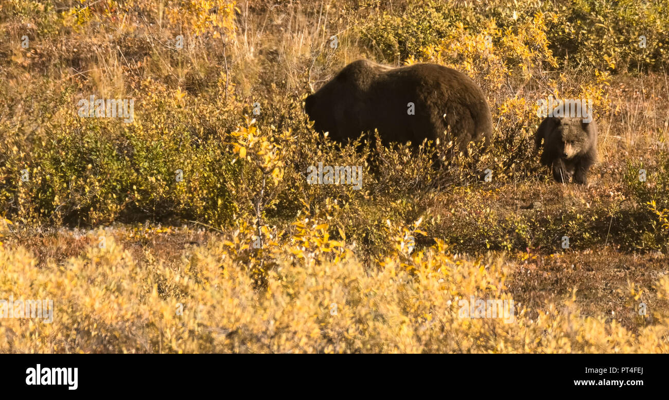 Fussy brown bear cub walking between sow in yellow grass in Denali National Park. - Stock Image