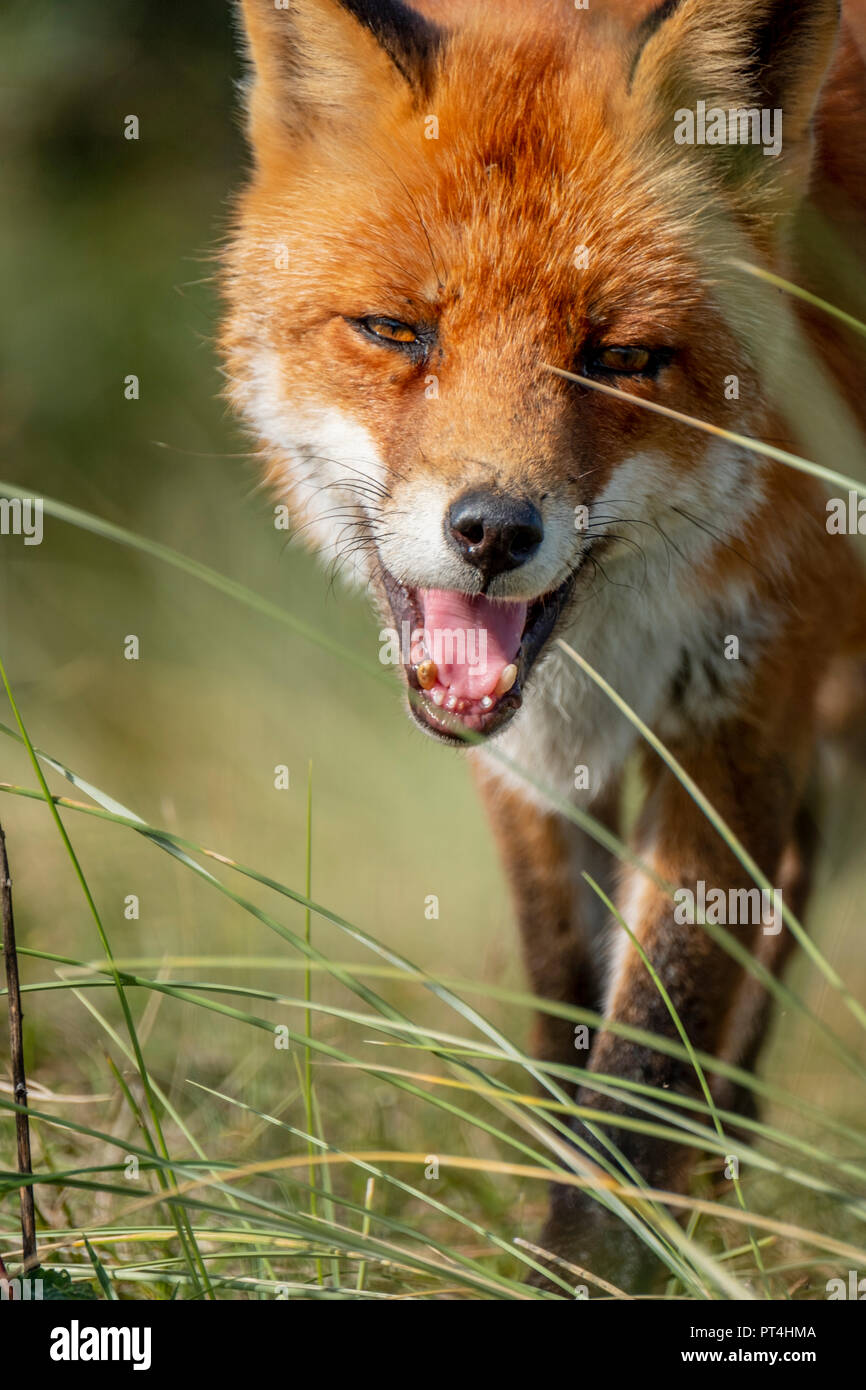 Head of a staring European red fox (Vulpes vulpes) close up - Stock Image