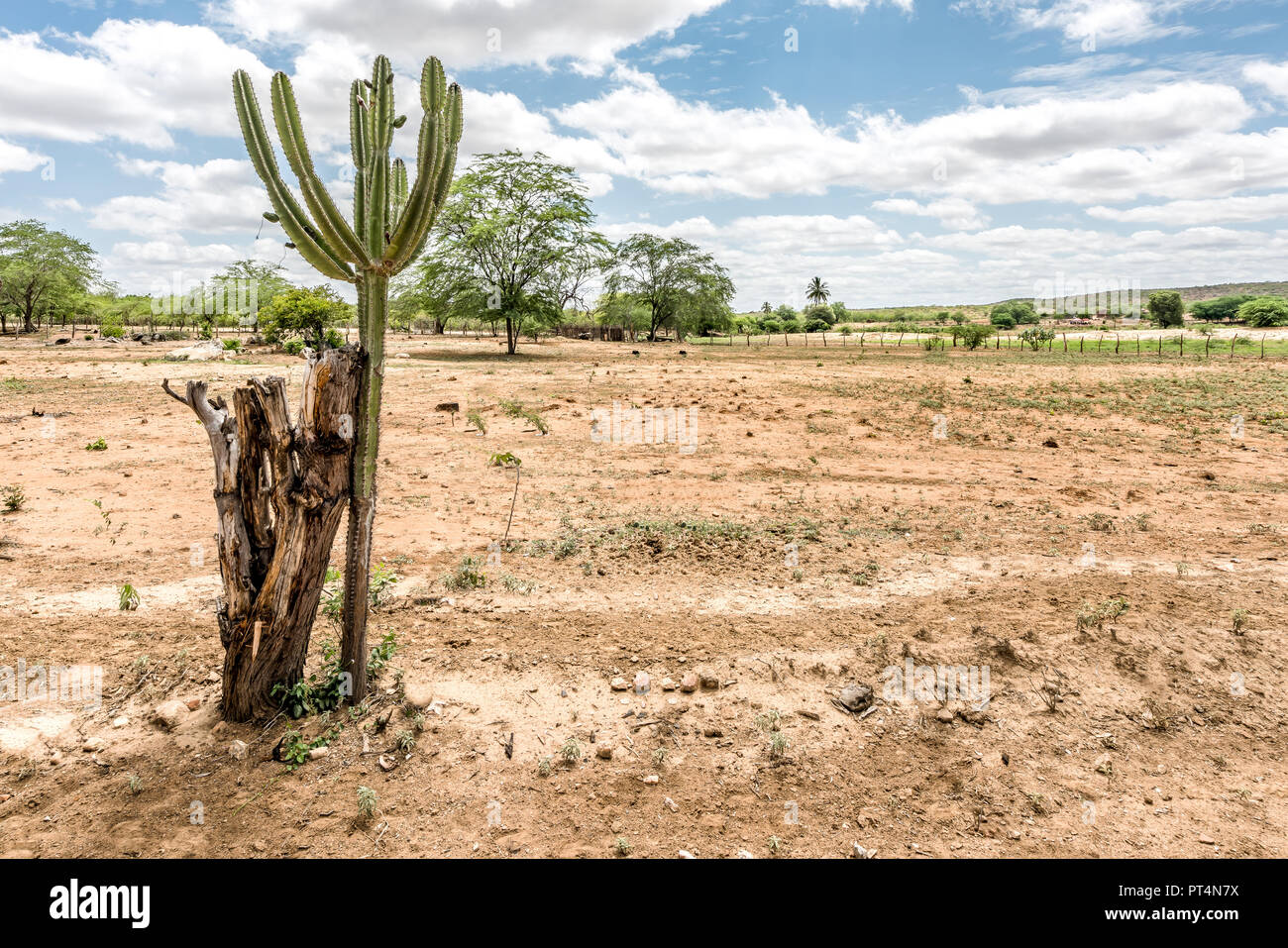 São Domingos do Cariri, Paraiba, Brazil - February, 2018: Landscape of Caatinga Biome with Mandacaru cactus at Northeast of Brazil - Stock Image