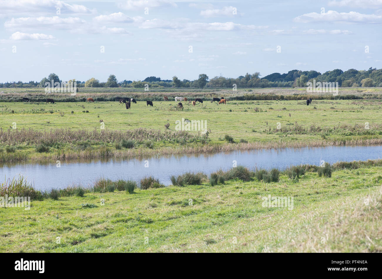 Carlton Marshes, a Suffolk Wildlife Trust reserve, consisting mostly of reed beds and rough grazing Stock Photo